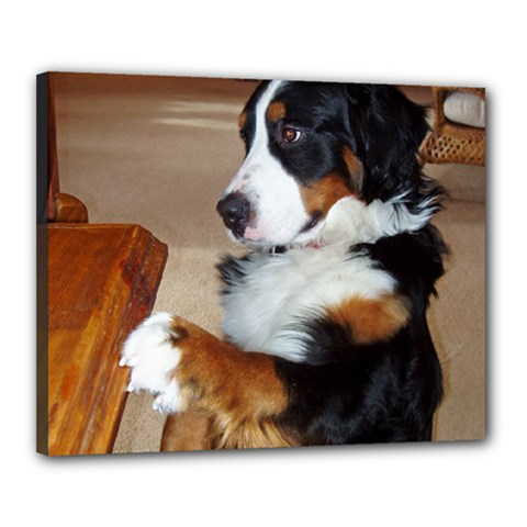 Bernese Mountain Dog Begging Canvas 20  x 16