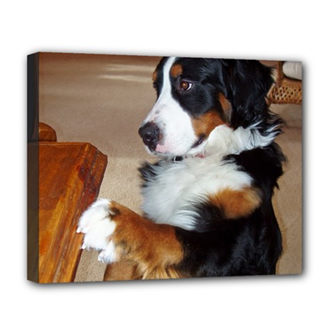 Bernese Mountain Dog Begging Deluxe Canvas 20  x 16