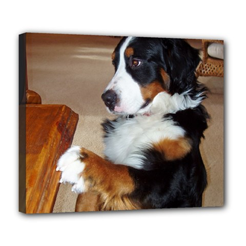 Bernese Mountain Dog Begging Deluxe Canvas 24  x 20
