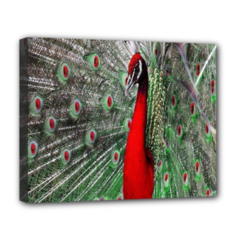 Red Peacock Deluxe Canvas 20  x 16