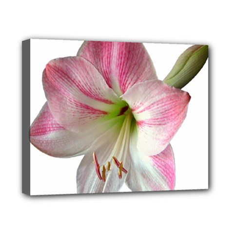 Flower Blossom Bloom Amaryllis Canvas 10  x 8