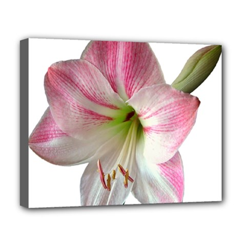 Flower Blossom Bloom Amaryllis Deluxe Canvas 20  X 16