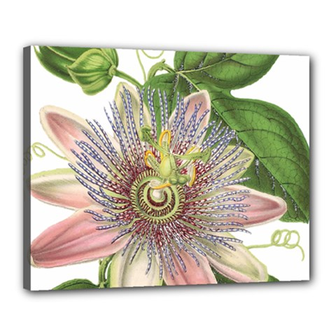 Passion Flower Flower Plant Blossom Canvas 20  X 16