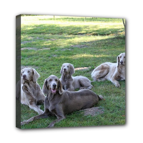 Longhair Weims Mini Canvas 8  x 8