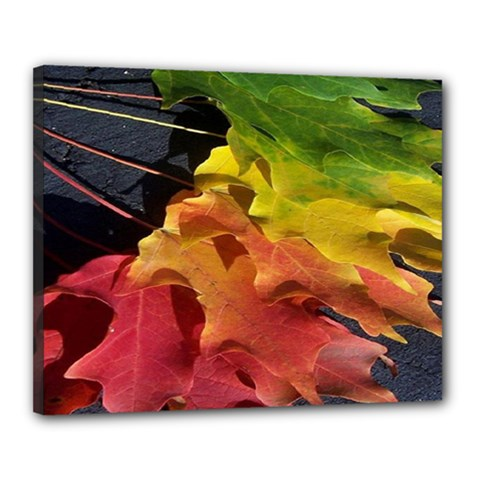 Green Yellow Red Maple Leaf Canvas 20  X 16
