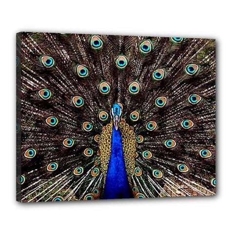 Peacock Canvas 20  X 16