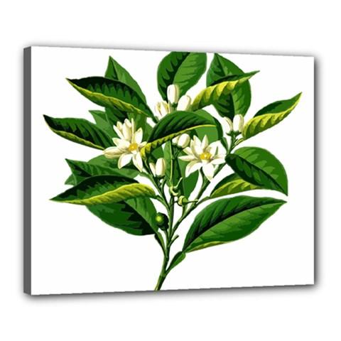 Bitter Branch Citrus Edible Floral Canvas 20  X 16