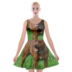 4 Full Staffordshire Bull Terrier Velvet Skater Dress