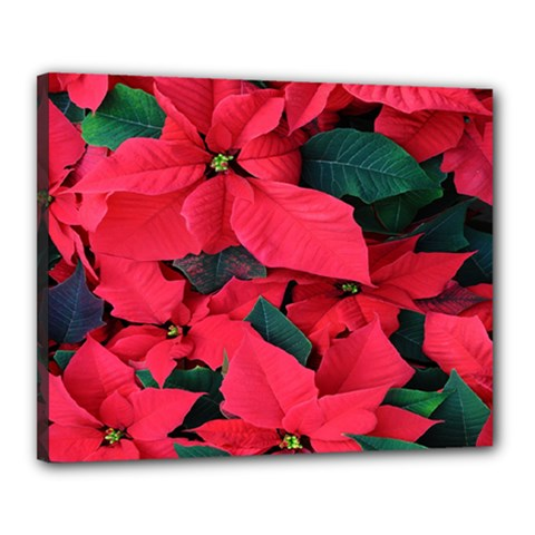 Red Poinsettia Flower Canvas 20  X 16