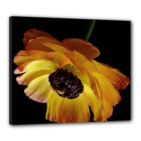 Ranunculus Yellow Orange Blossom Canvas 24  X 20