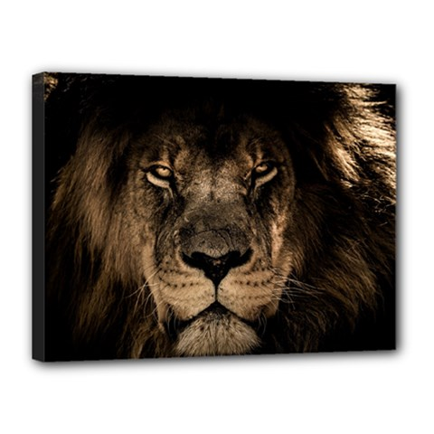 African Lion Mane Close Eyes Canvas 16  X 12