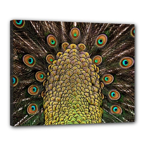 Peacock Feathers Wheel Plumage Canvas 20  X 16