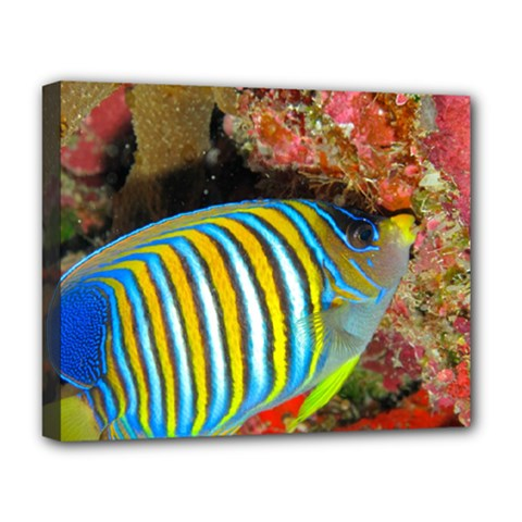 Regal Angelfish Deluxe Canvas 20  X 16