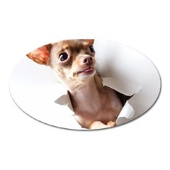 Chihuahua Magnet (Oval)