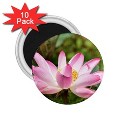 A Pink Lotus 2.25  Button Magnet (10 pack)