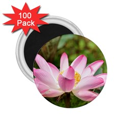 A Pink Lotus 2 25  Button Magnet (100 Pack)