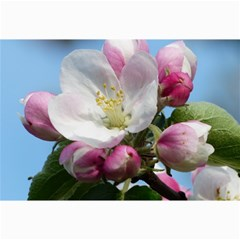 Apple Blossom  Canvas 12  X 18  (unframed)