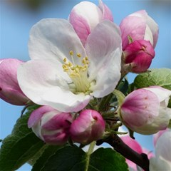 Apple Blossom  Canvas 16  x 16  (Unframed)
