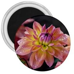 Dahlia Garden  3  Button Magnet