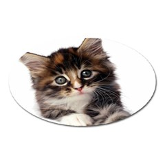 Curious Kitty Magnet (Oval)