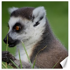 Ring Tailed Lemur  2 Canvas 16  x 16  (Unframed)