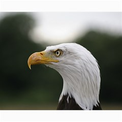 Bald Eagle (1) Canvas 16  x 20  (Unframed)