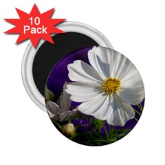 Cosmea   2.25  Button Magnet (10 pack)