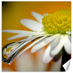 Daisy With Drops Canvas 20  x 20  (Unframed)
