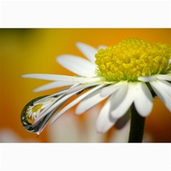 Daisy With Drops Canvas 20  X 30  (unframed)