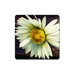 Daisy Magnet (Square)