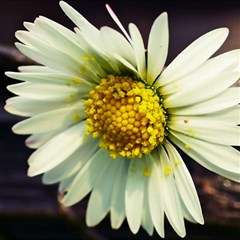 Daisy Canvas 16  X 16  (unframed)