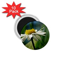 Daisy 1 75  Button Magnet (10 Pack)