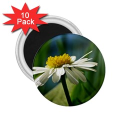 Daisy 2.25  Button Magnet (10 pack)