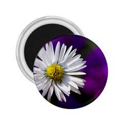 Daisy 2.25  Button Magnet