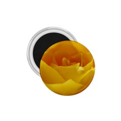Yellow Rose 1 75  Button Magnet