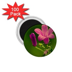 Campanula Close Up 1.75  Button Magnet (100 pack)