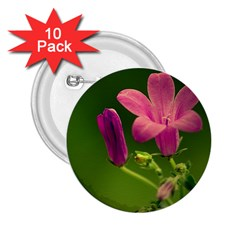 Campanula Close Up 2 25  Button (10 Pack)
