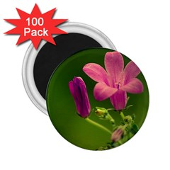 Campanula Close Up 2.25  Button Magnet (100 pack)