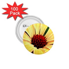 Osterspermum 1 75  Button (100 Pack)