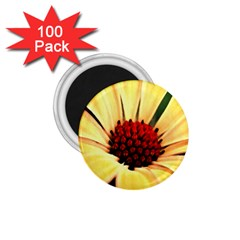 Osterspermum 1.75  Button Magnet (100 pack)