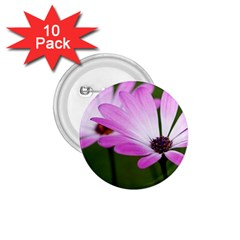 Osterspermum 1 75  Button (10 Pack)
