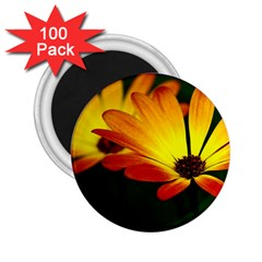 Osterspermum 2 25  Button Magnet (100 Pack)