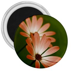 Osterspermum 3  Button Magnet