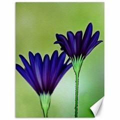 Osterspermum Canvas 12  x 16  (Unframed)