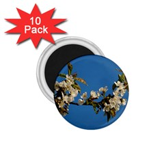 Cherry Blossom 1.75  Button Magnet (10 pack)