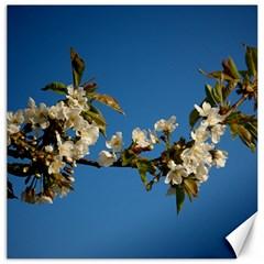 Cherry Blossom Canvas 12  X 12  (unframed)