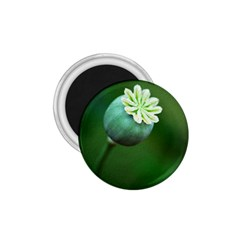 Poppy Capsules 1.75  Button Magnet