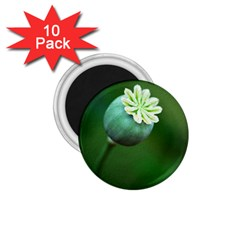 Poppy Capsules 1.75  Button Magnet (10 pack)