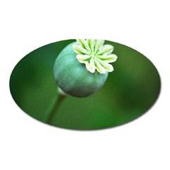 Poppy Capsules Magnet (oval)