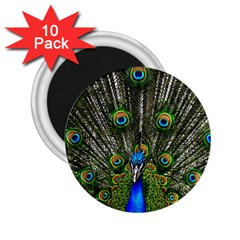 Peacock 2 25  Button Magnet (10 Pack)